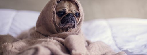 A pug puppy sits on a white duvet, wrapped in a beige blanket.